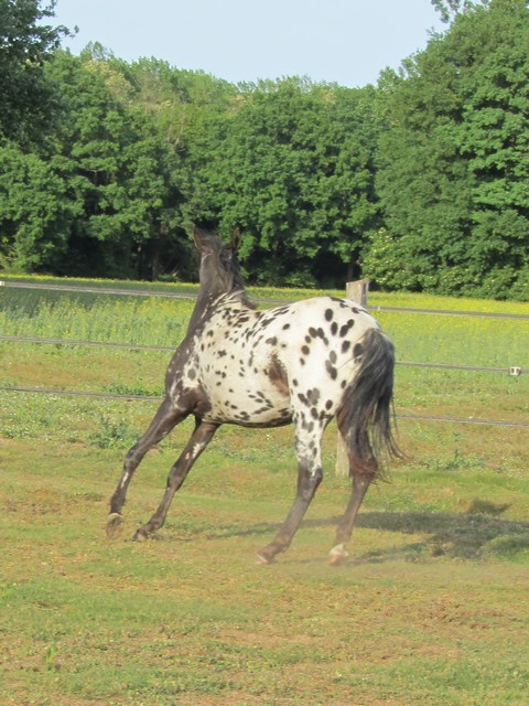 Les vacances chez Talisman Horses Venusian_2011-05_01